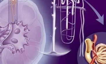 在讲肾脏病之前我们首先要更新一下对肾脏的认识因为受到传统医学的影响