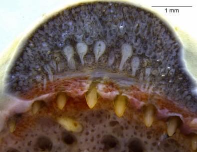 研究人员在两栖动物中首次发现类似于蛇的毒腺