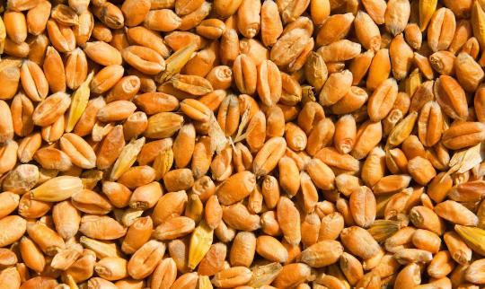 您可以通过食用更多的发酵小麦胚芽提取物来预防癌症