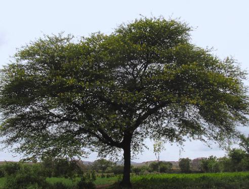 研究人员发现阿拉伯树胶提取物可以有效治疗疟疾