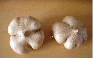 豆薯可以直接作为应季的水果食用