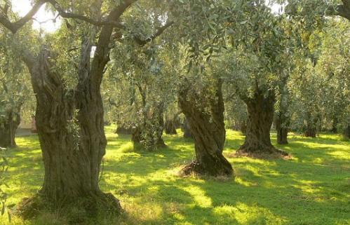 健康的希腊特级初榨橄榄油赢得国际大奖