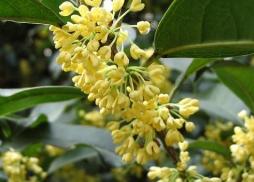 除了香味浓郁小小的桂花也是中药的一种