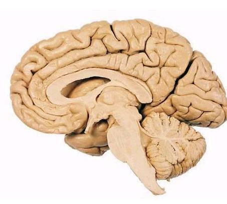 哺乳动物的大脑如何进化以分辨