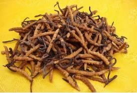 冬虫夏草是名贵的养生中医药材