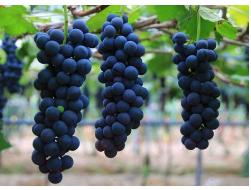 各种各样的葡萄具有不同的营养价值