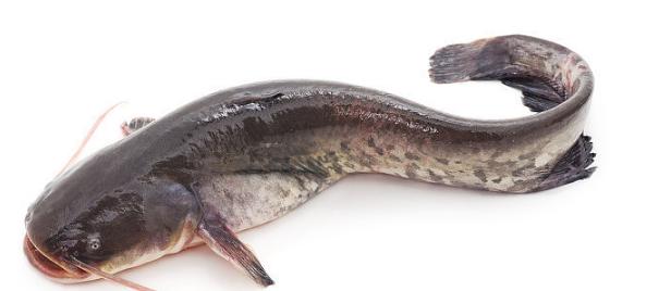 鲶鱼是生活中比较常见的鱼类