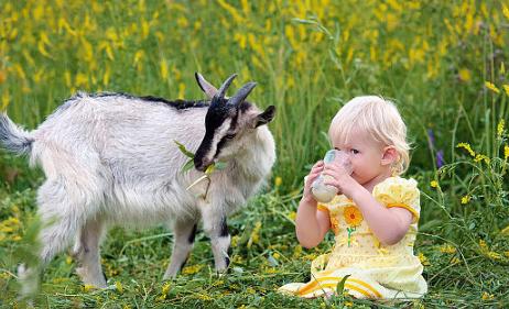 羊奶粉中的营养价值要比牛奶高许多