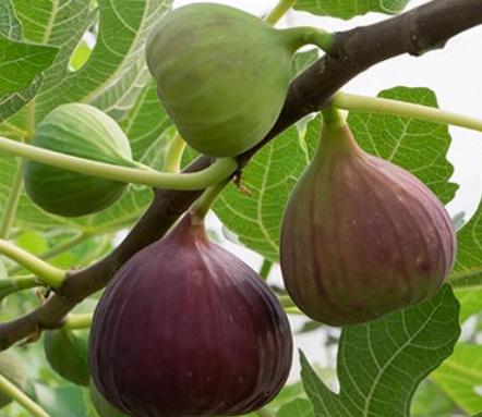 恒达登录注册无花果是一种天然的甜味超级食品可制成非常健康的零食