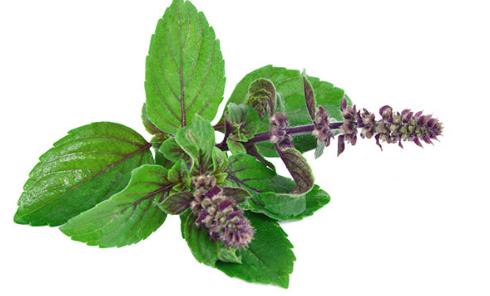 罗勒一种有助于抵抗癌症的神圣草药