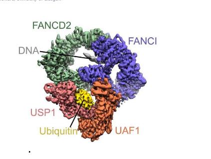 尖端的cryo-EM揭示了重要DNA修复过程的关键见解