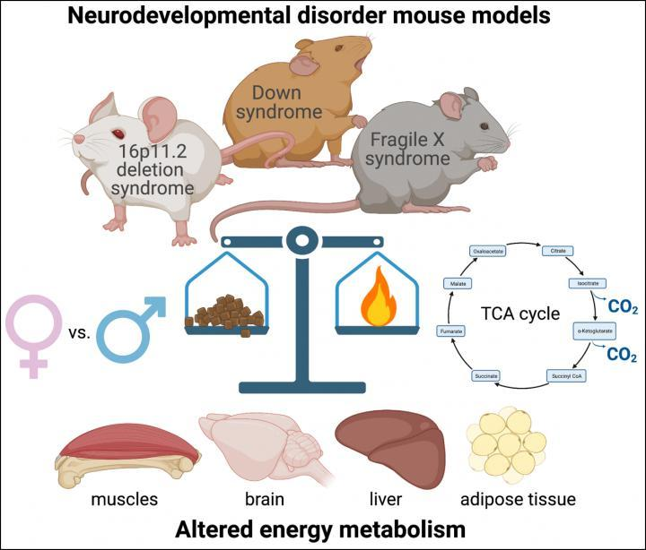 恒达登录注册神经发育障碍的小鼠模型表现出代谢功能障碍