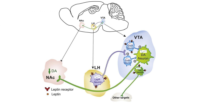 瘦素通过新型神经回路阻止进食