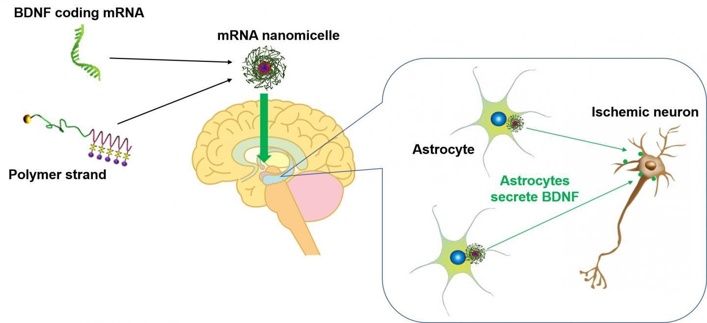 一种治疗脑部疾病的新药:mRNA