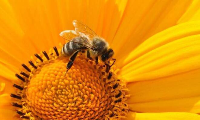 应重新设计除草剂以拯救大黄蜂
