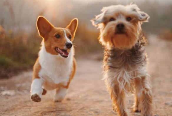 狗即使没有看到对手也会嫉妒地行动