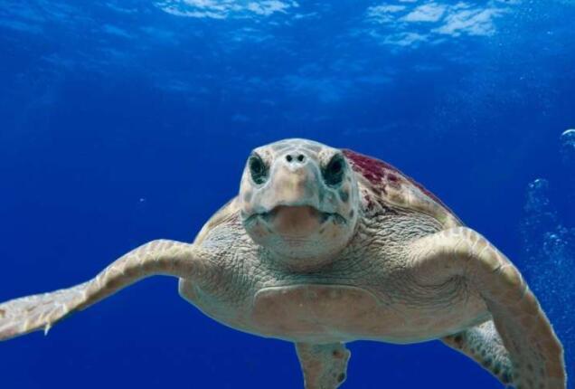 研究人员阐明了海龟史诗般的迁徙之谜