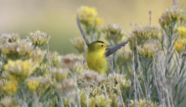 用于生态预报的天气雷达可以减少对候鸟的危害