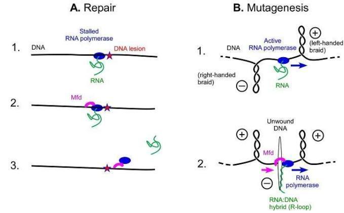 具有双重作用的蛋白质:修复和突变