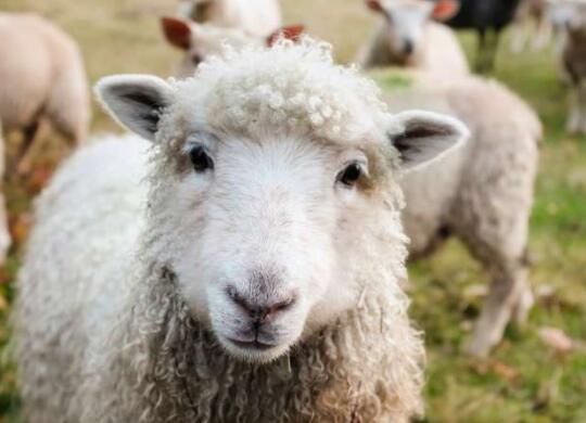 使用无人机以道德的方式放牧绵羊