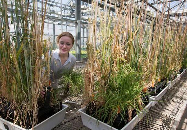 约旦的野生大麦是阻止锈病的关键