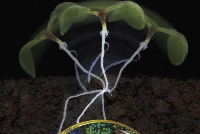 新型生物传感器使细胞中可见控制激素生长素