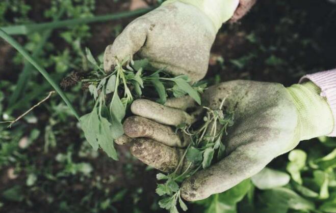 研究人员验证了可快速诊断抗除草剂杂草的新技术