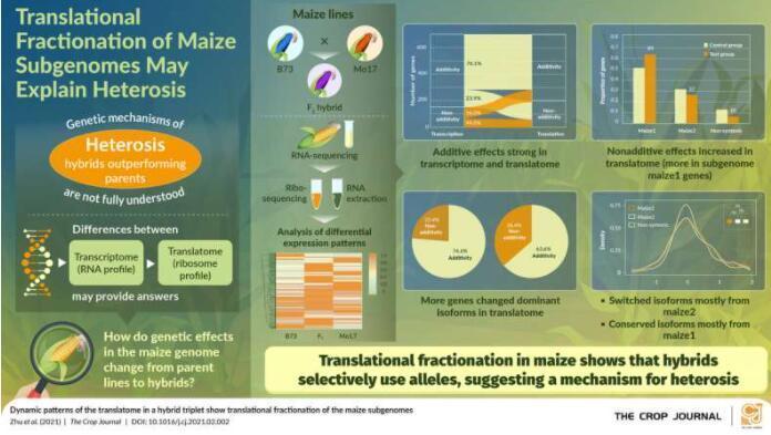 亚基因组分级确定了玉米的杂种优势