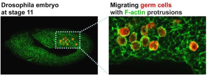 科学家发现有助于移动细胞避免无目的漫游的分子途径