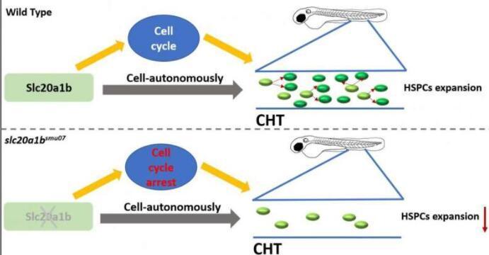 Slc20a1b对于斑马鱼的造血干/祖细胞扩增至关重要