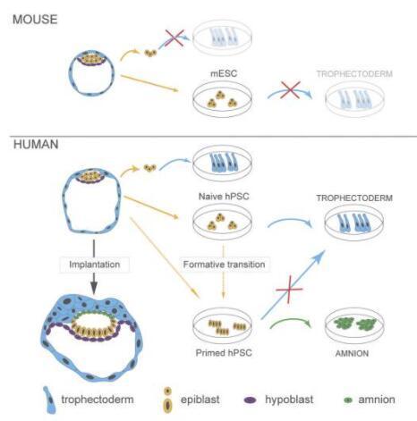 研究为人类胚胎的形成提供了新见解