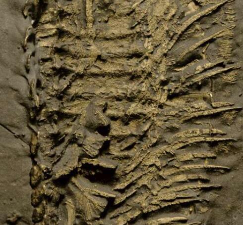 4.5亿年前的海洋生物中复杂的呼吸器官的第一个证据