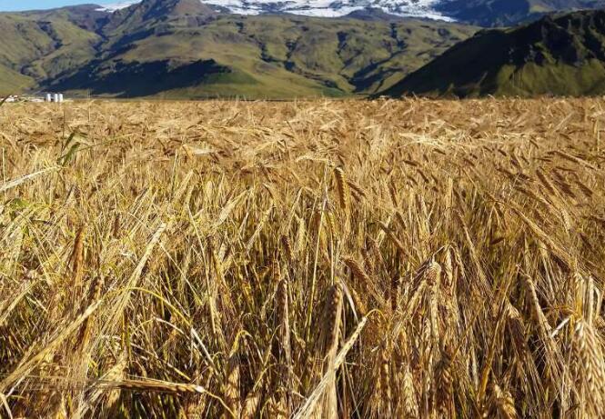 大麦如何适应气候变化