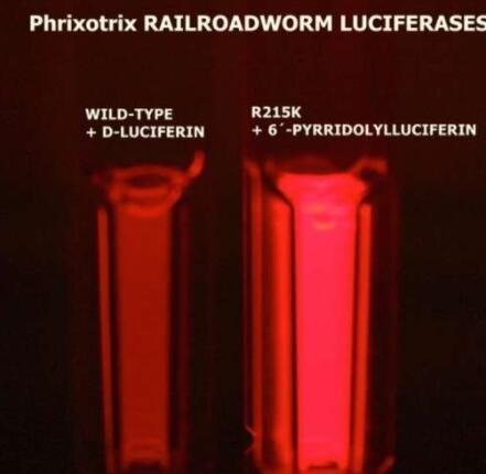 研究人员获得了比市售红色荧光更有效的红色发光生物