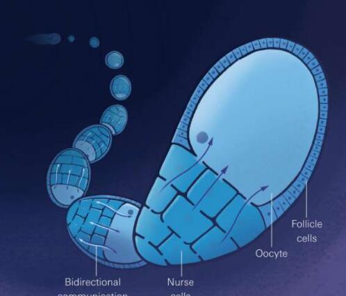 果蝇卵在自身的生长中起着积极的作用