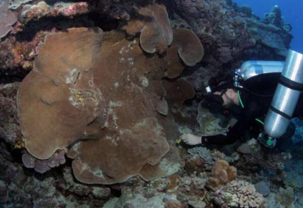 珊瑚的隐性多样性对于保护比以前想像的更为重要