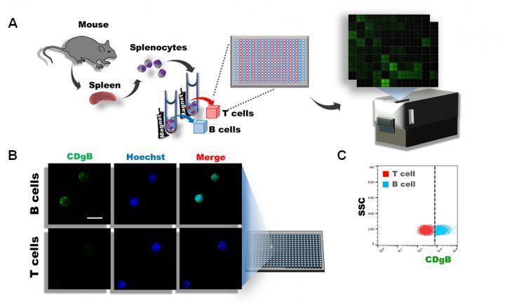 可以区分B细胞和T细胞的新型荧光探针