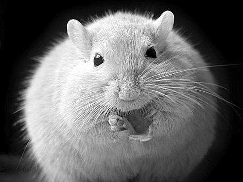 研究发现膳食可改善肥胖小鼠的健康