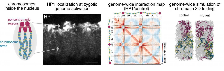 表观遗传调控子HPI1a驱动果蝇早期胚胎的基因组重组