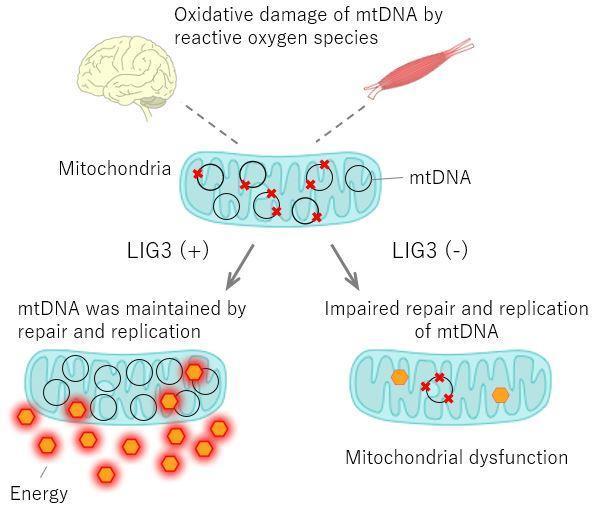 日欧研究小组发现新型遗传线粒体疾病