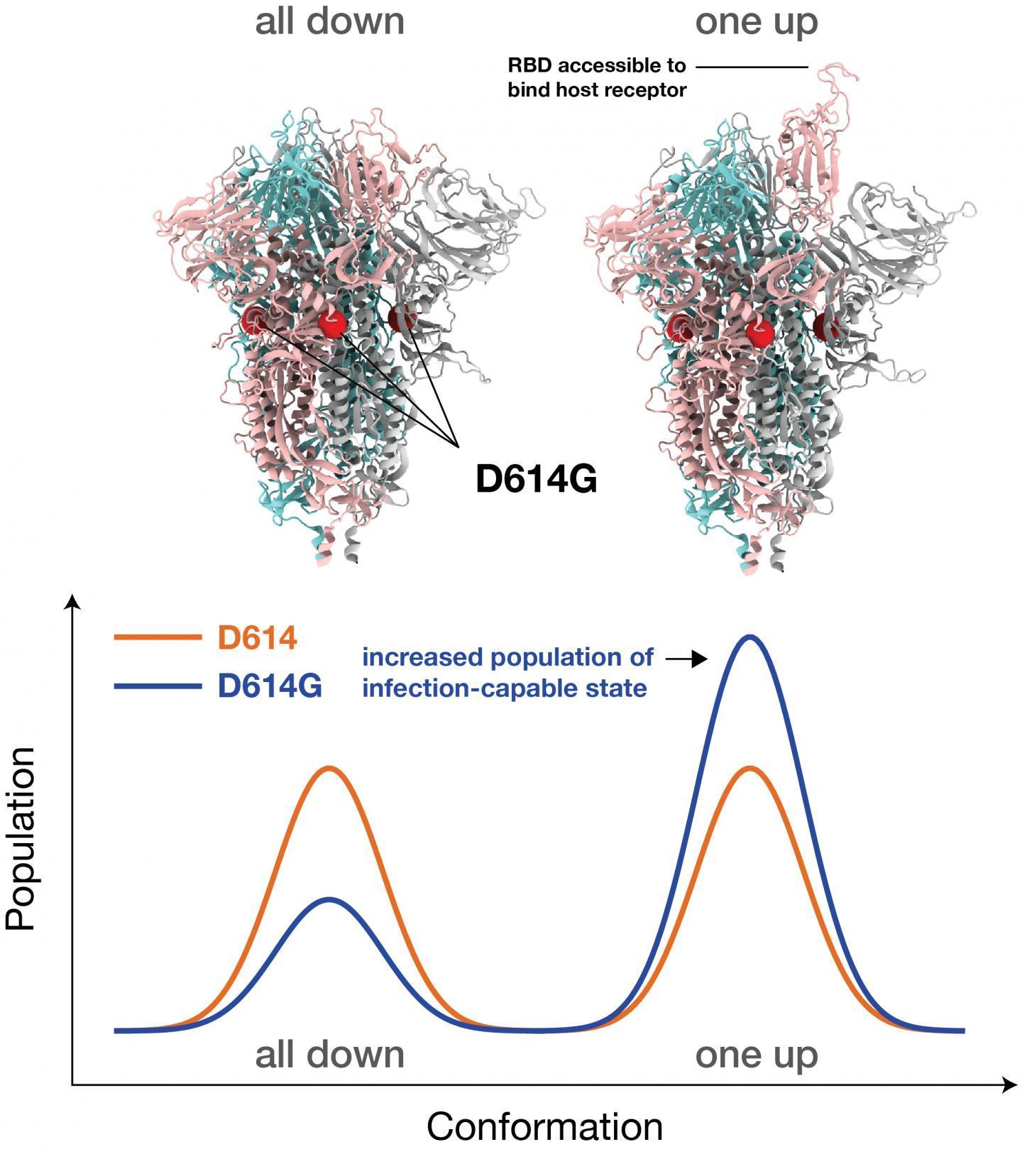模拟揭示了优势SARS-CoV-2株如何与宿主结合屈服于抗体