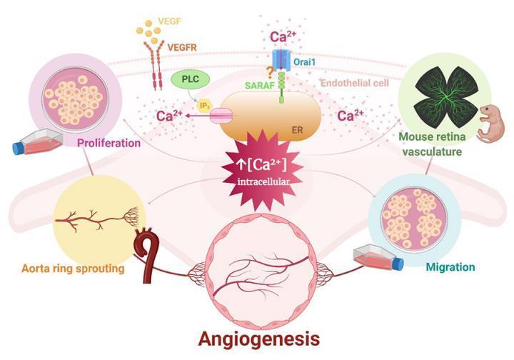研究确定了血管生成过程中的新靶标