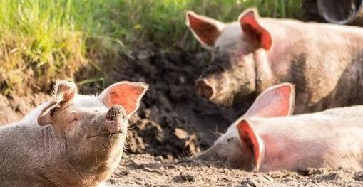 转基因猪和鸡为健康和疾病提供洞察力