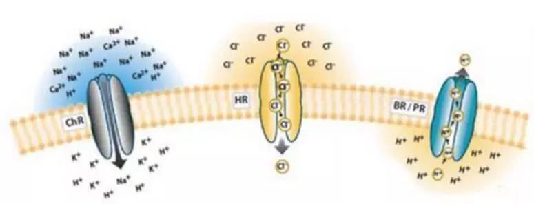 新版本的光敏蛋白可以照亮我们大脑的交流途径的黑暗角落