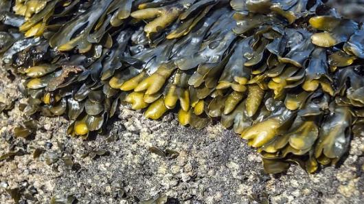 海带和霉菌蛋白的大量耕作对营养不良至关重要