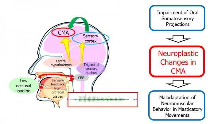 吃软食可能会改变大脑对咀嚼的控制