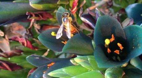 基因组测序显示气候障碍阻碍了非洲蜜蜂的传播