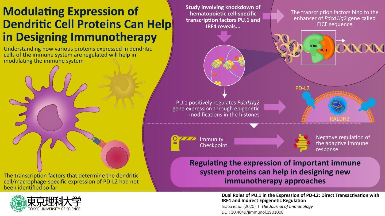 科学家揭示了免疫检查点蛋白PDL2的调控方式 这对免疫治疗具有潜在的影响