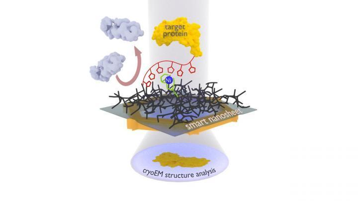 超薄纳米片如何聪明地捕捞蛋白质