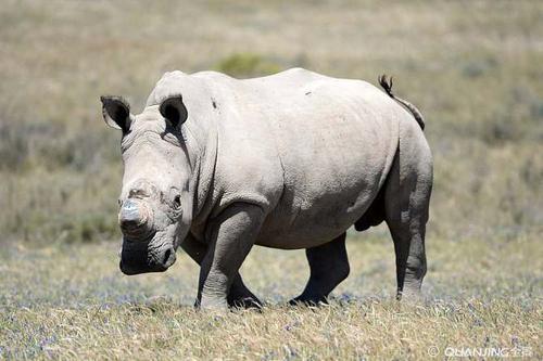 研究人员首次深入了解犀牛的分娩